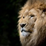 lion-wild-africa-african-medium