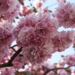 広島造幣局、お花見