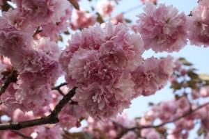 八重桜は咲き始めが2週間遅く花びらがとても多い桜です