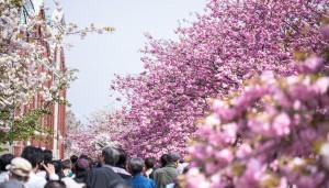 八重桜の花言葉は理性に富んだ教育という高尚な花言葉