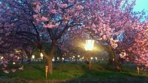 ライトアップされた夜桜も広島造幣局の大きな魅力です