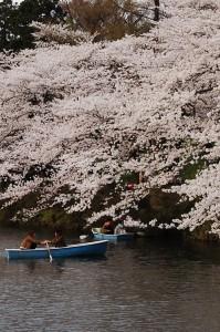 お堀から見る高田城の桜は格別の美しさがありますよ!