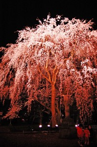 しだれ桜は夜の撮影スポットとして人気があります!