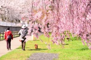 桜が満開の後に散り始めるのはあっという間ですよね!