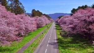 ひだか町の桜並木は日本の道100選にも選ばれた道です