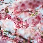 神奈川県、桜祭り、お花見