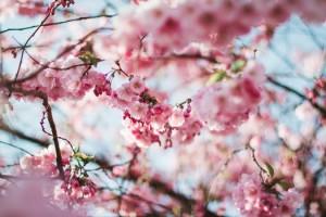 おおがわら桜まつりは屋形船でお花見を楽しめますよ。