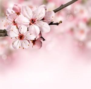 榴岡公園の特徴はソメイヨシノよりも枝垂桜が多いです
