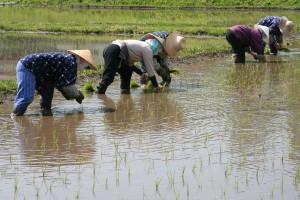 半夏生は農作業の大変な疲れをゆっくりとるための期間