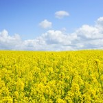 field-of-rapeseeds-oilseed-rape-blutenmeer-yellow-46164-medium